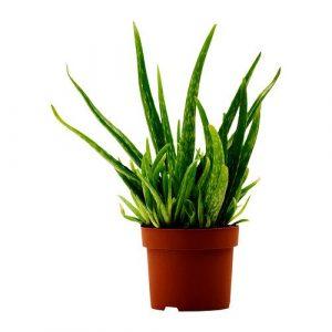 aloe-vera-potted-plant__0173210_PE327299_S4