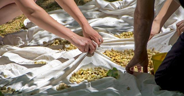 Turkish White Mulberry Harvest