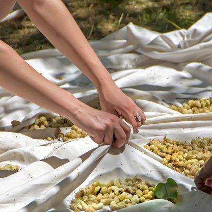 White Mulberries Turkey People Harvesting