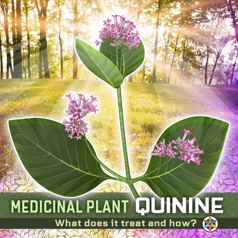 Quinine Medicinal Cinchona Tree Bark Leaves Flowers